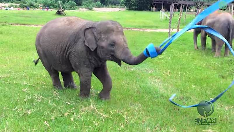 elephant-plays-with-ribbon-saveelephantDOTorg