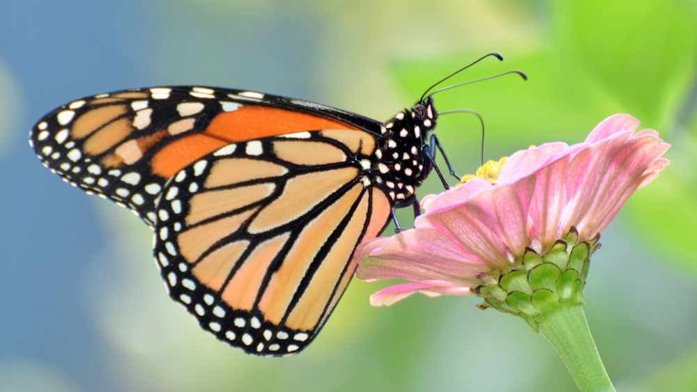 monarch-butterfly-Peter_Miller-CC
