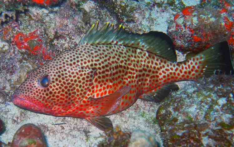 red-hind-grouper-NOAA
