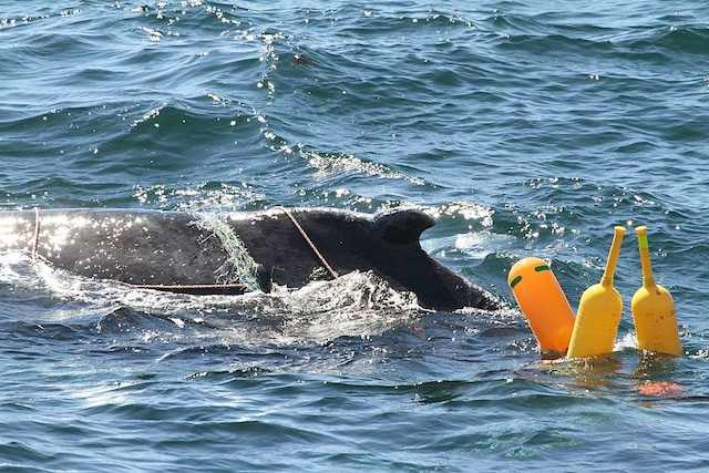 whale-entanglement-FB-photo-courtesy-Walter_Churchill