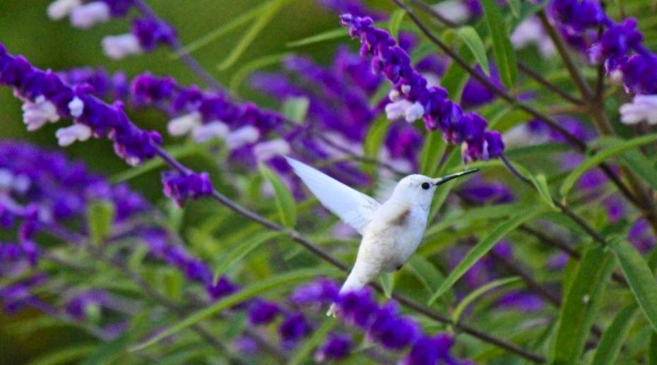 white-hummingbird-innis-LoriTaggart-submitted