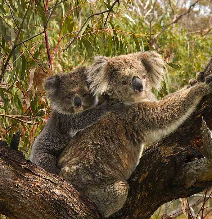 750px-Koala_and_joey-CC-Benjamint444