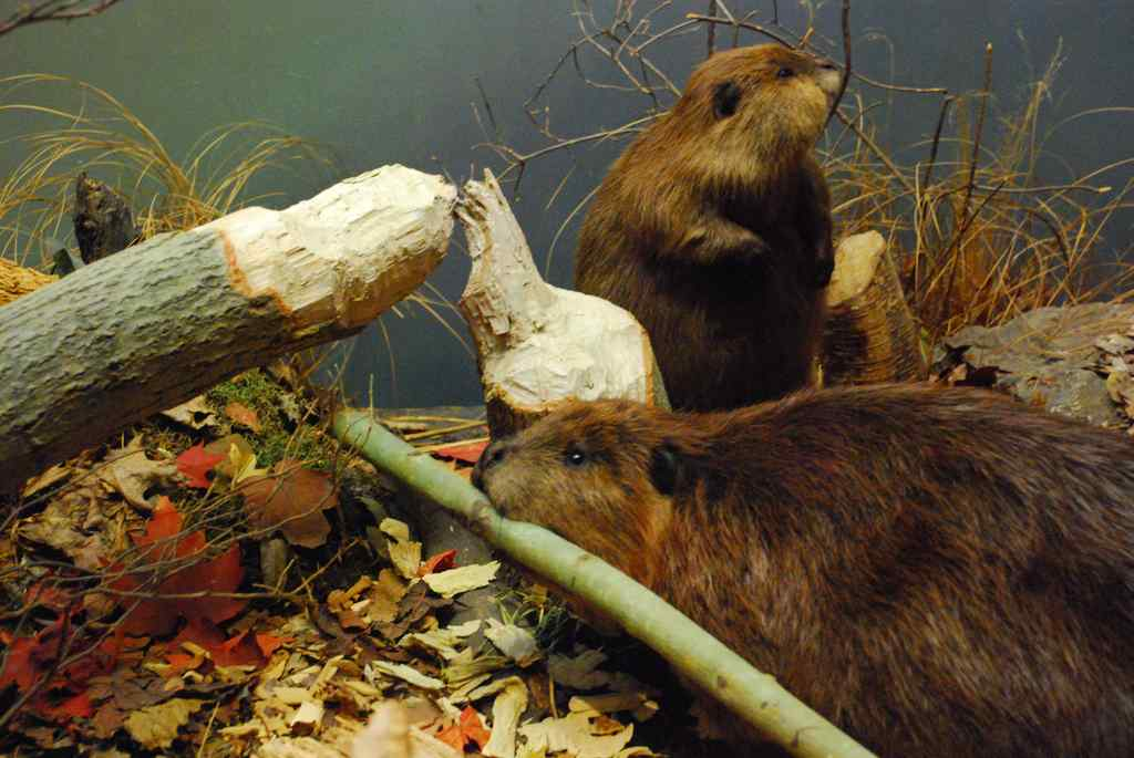 Beavers-building-lodge-CC-Mark_Round