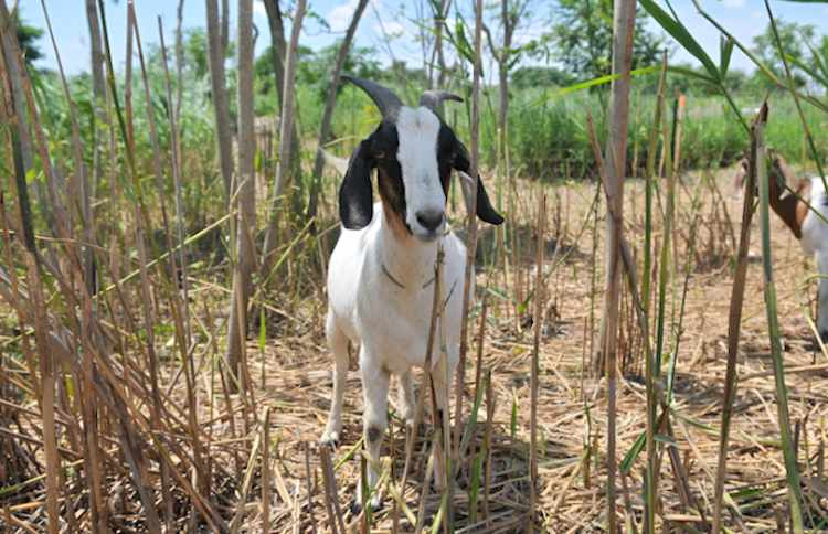 goats eating weeds freshkills park NYCparksPhoto