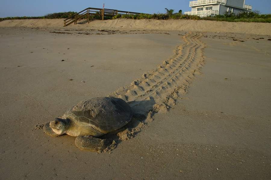 green-turtle-crawls-back-on-sand-FWC_Fish_and_Wildlife_Research_Institute-900px