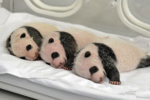 panda-triplets-release-Guangzhou-s_Chimelong_Safari_Park