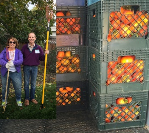 900lbs-fresh-persimmons-Gleaning-Bounty-copy1