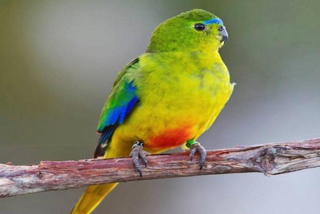 orange bellied parrot-scientist-Chris Tzaros
