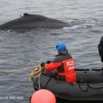 Humpback calf rescued-CSS:NOAA