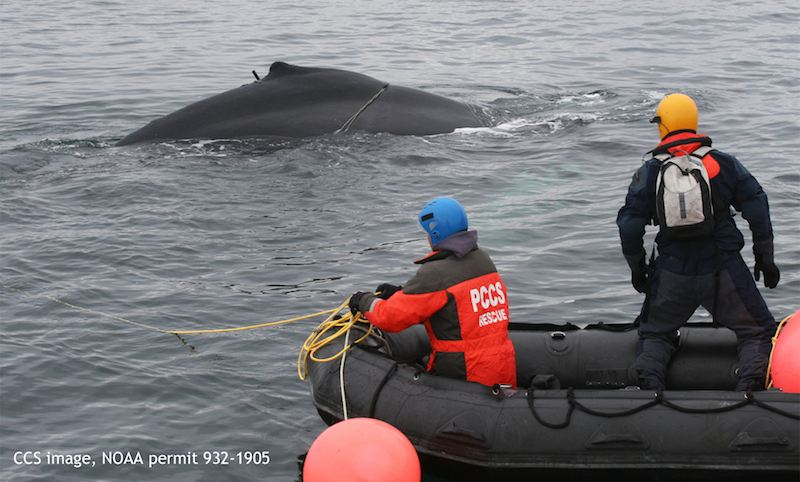 Humpback calf rescued-CSS:NOAA