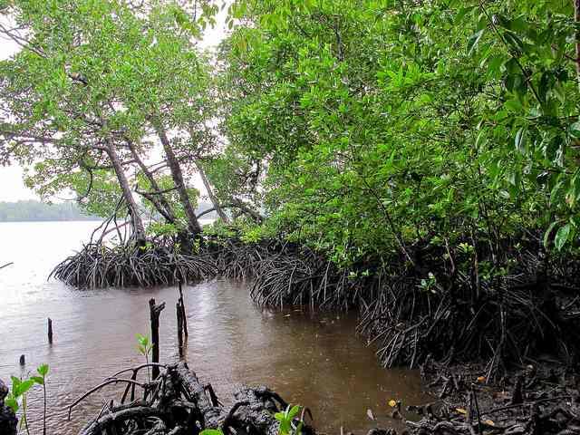 Mangrove-trees-CIFOR-CC-640px