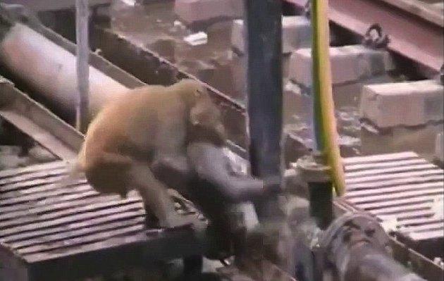 Monkey-revives-monkey-Youtube