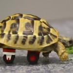 tortoise-uses-legos-to-walk-RuptlyVideo
