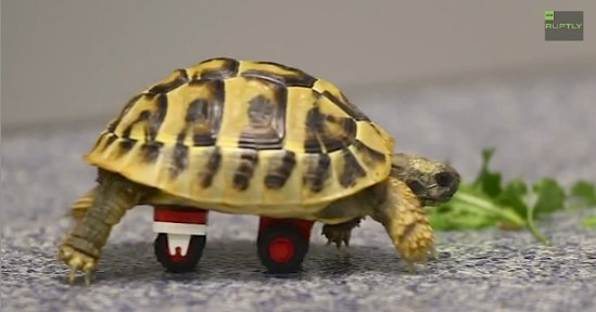 tortoise-uses-legos-to-walk-RuptlyVideo