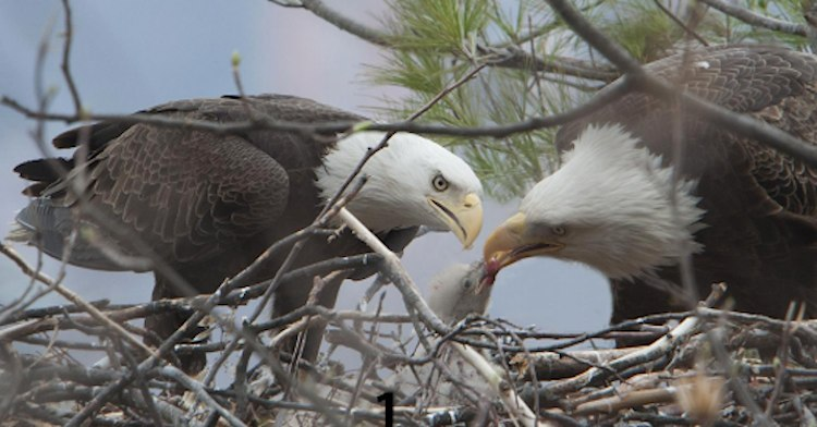 Bald eagles feed chick-Conserve Wildlife Foundation of New Jersey-750px