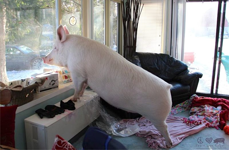 Esther the Pig in window FBPhoto