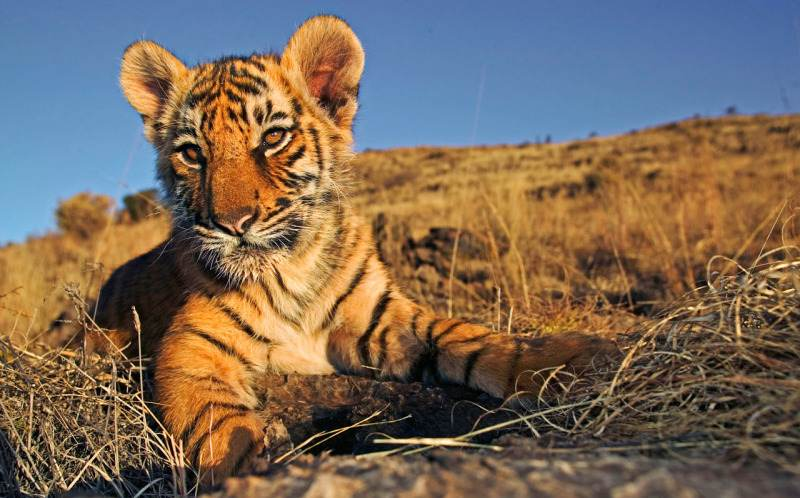 Indian tiger cub © Martin Harvey / WWF