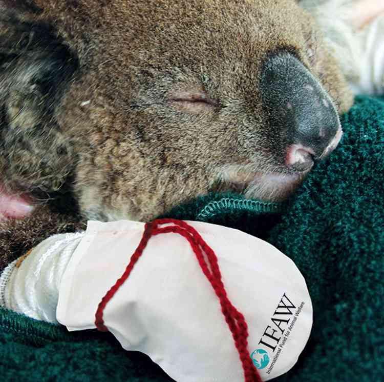 Koala-injured-with-mittens-InternationalFundfor Animal Welfare