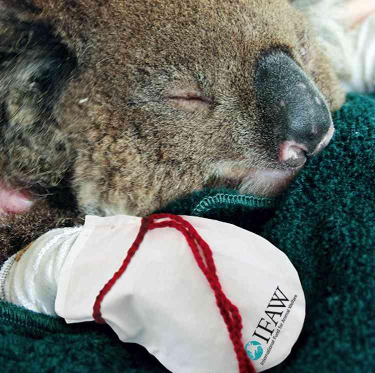 Koala-injured-with-mittens-InternationalFundfor Animal Welfare