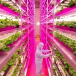 Mirai-indoor-farm-grows-lettuce