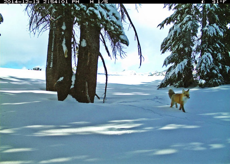 Sierra Nevada red fox-in snow-NPSphoto