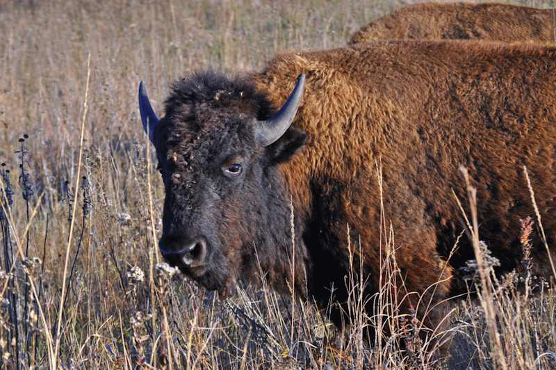 bison-by-USFWS-Rick Hansen