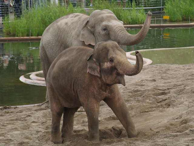 elephants in Copenhagen-zoo-CC-Finn Frode