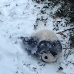 panda cub plays in snow-500px-NatlZoovideo