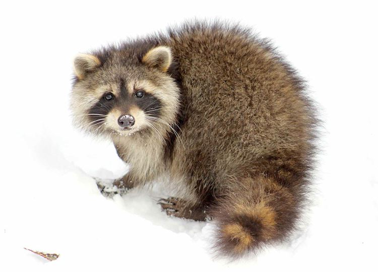 raccoon-in-snow-LoriTaggart-submitted