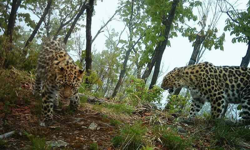 amur_leopard_WWF-Russia:ISUNR