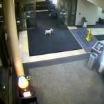 dog walks to hospital lobby-MercyMedicalCentercameras