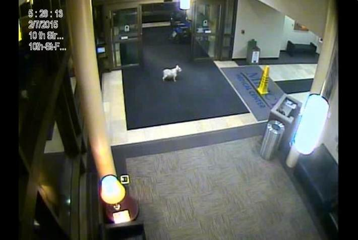 dog walks to hospital lobby-MercyMedicalCentercameras