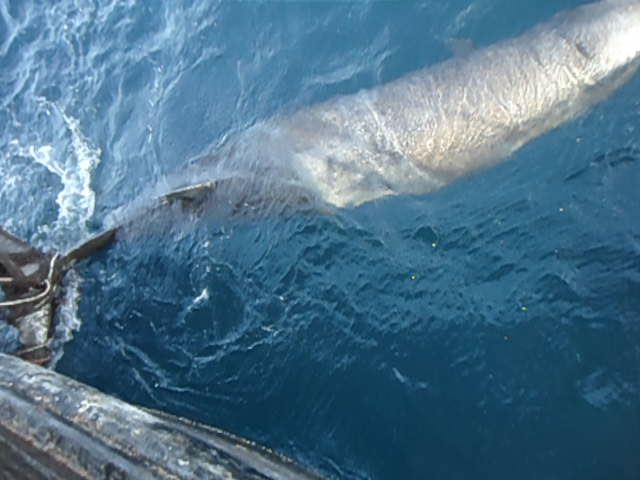 longmans-beaked-whale-in-gillnet-WWF-c-Iqrar Muhummad