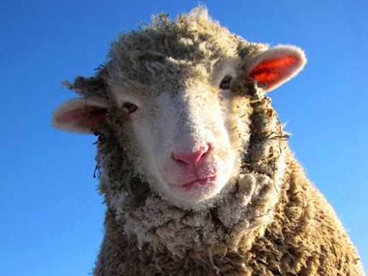 sheep-face-Farm Sanctuary-submitted