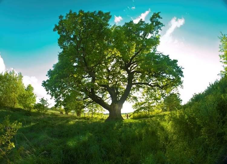750px-Oak tree Poland EuropeanTreeoftheYearPhoto