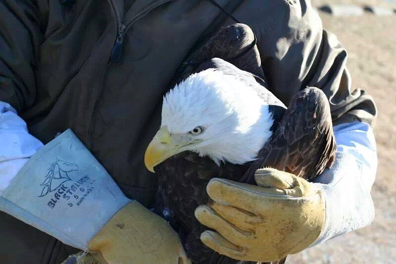 -800pxBald-eagle-in-rescuer-arms-Thunder Eagle Wildlife