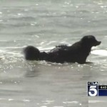 Bernese mountain dog in ocean-KTLAvideo