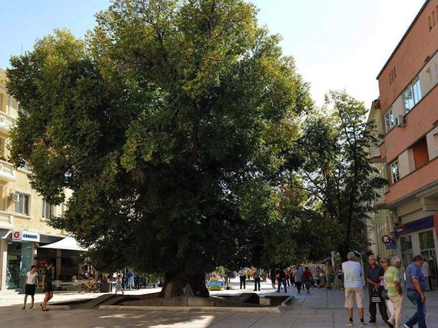 Bulgaria Oak Elm tree EuropeanTreeoftheYear2014