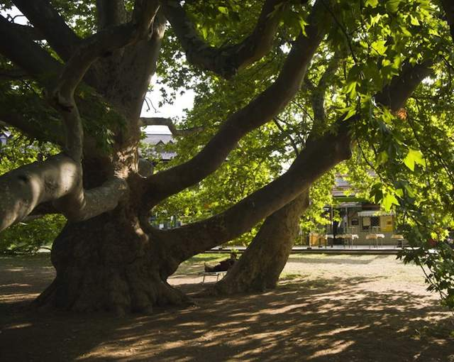 European Tree of the Year 2013-Plane tree-Hungary-640px