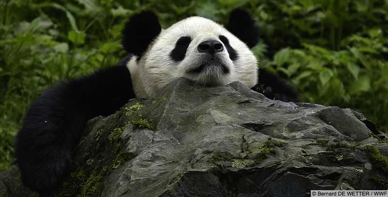 Giant panda by Bernard DE WETTER / WWF
