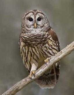 Squirt-Educational Barred Owl-ThunderEagleWildlife