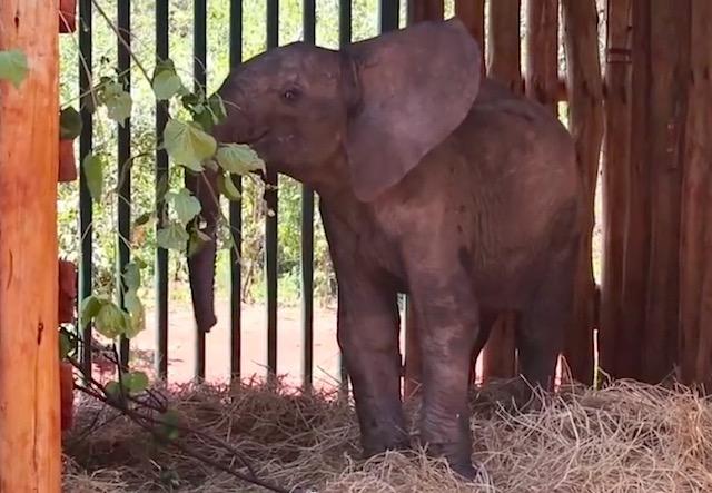 baby elephant-Daphne Sheldrick wildlife trust