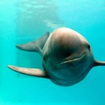 finless porpoise-WWF-KentTruog