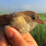jedrons-babbler-myanmar_Robert Tizard-WildlifeConservationSociety