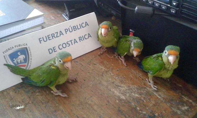 parakeets-on-police-desk-Costa Rican