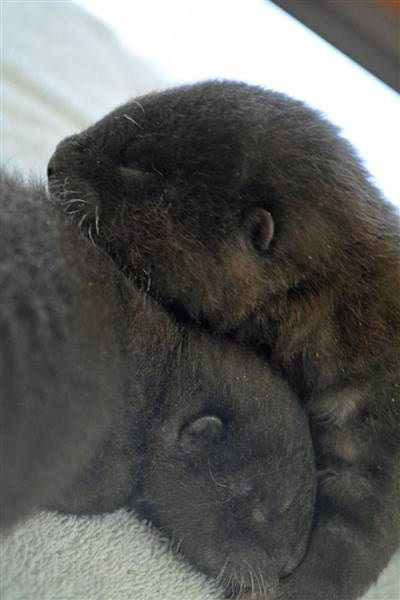 Baby_Otters_Cuddle_RosamondGiffordZoo_CourtesyJaimeAlvarez
