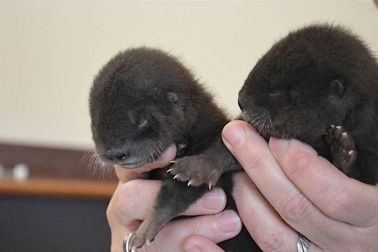 Baby_Otters_RosamondGiffordZoo_CourtesyJaimeAlvarez