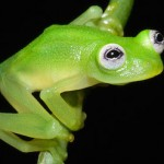 CRARC-released-diane-bare-hearted-glassfrog-costa-rica-3