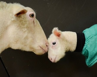Hazelton-lamb-with ewe-FarmSanctuary-blog