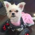 Lexi rescue dog-wheels-poshpets-rescue